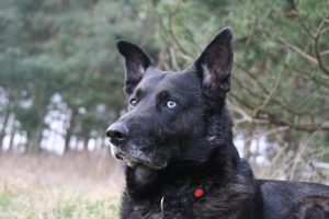 Bintas, der Hofhund