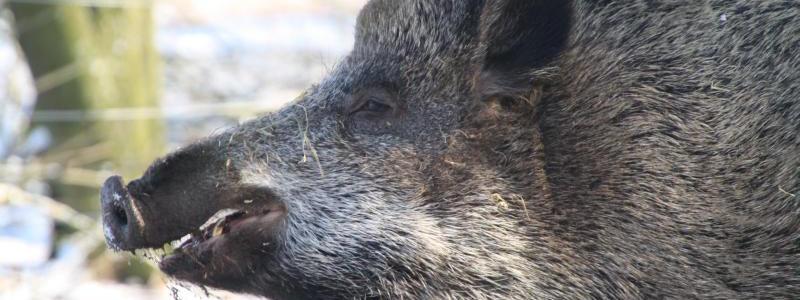 """Emely, das Wildschwein, aus dem Buch """"Interview mit Emely"""""""