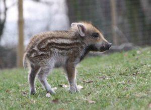 Wildschwein-Lesezelt