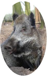 Emely, das kluge Wildschwein aus Bokelberge