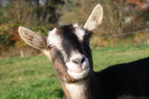 Ida, die Ziege