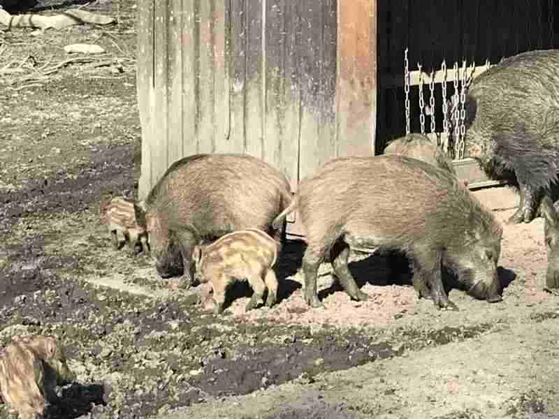 Wildschweine im Hannover Tiergarten