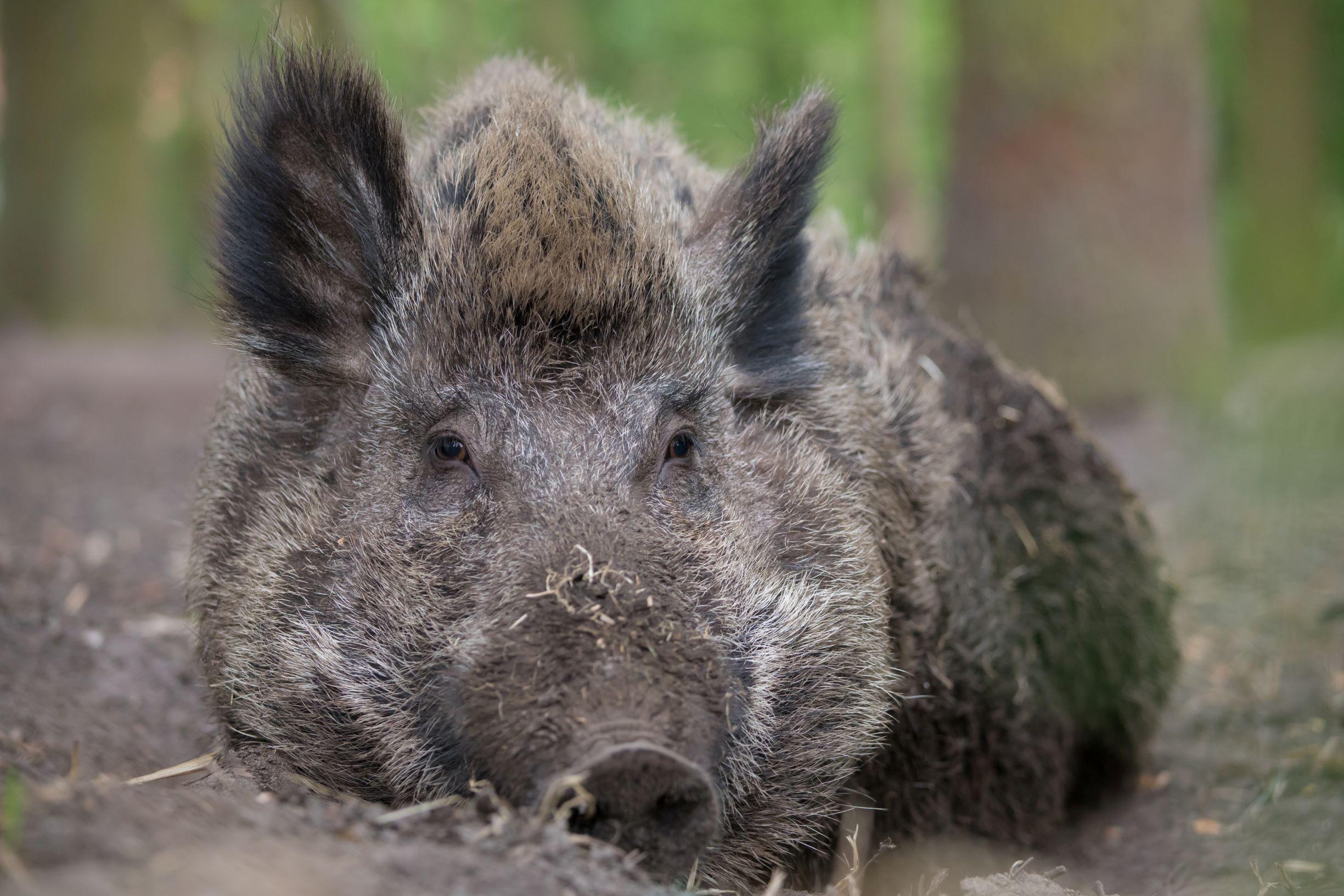 Emely das kluge Wildschwein