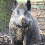 Emely, die Wildschweindame