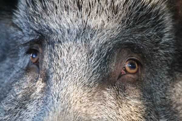 Das Wildschwein Emely hat kluge Augen