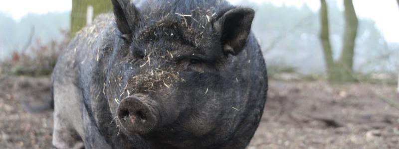 """Paula, ein Minischwein, aus dem Buch """"Interview mit Emely"""""""