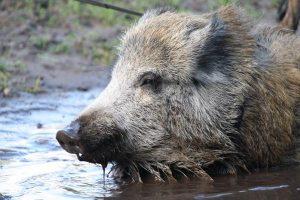 Wiily, das Wildschwein