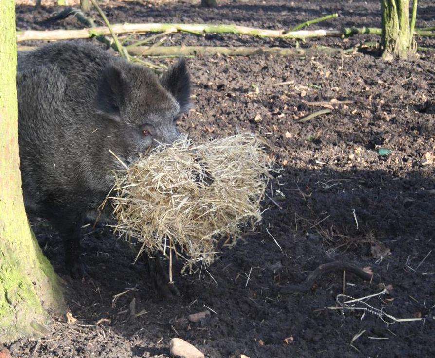 Emely, das kluge Wildschwein von Bokelberge